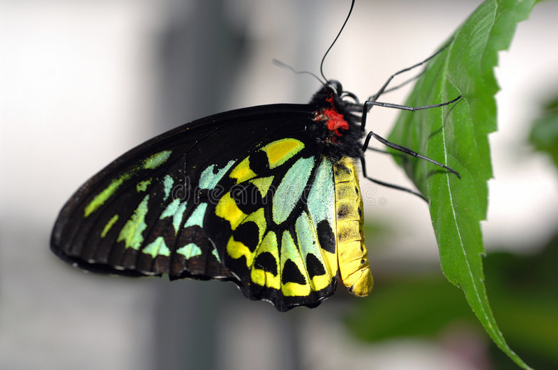 Cairns Birdwing Butterfly. Female Cairns Birdwing (Ornithoptera priamus), with a wingspread of over 6 1/2 inches, is Australia's largest endemic butterfly. They stock photography