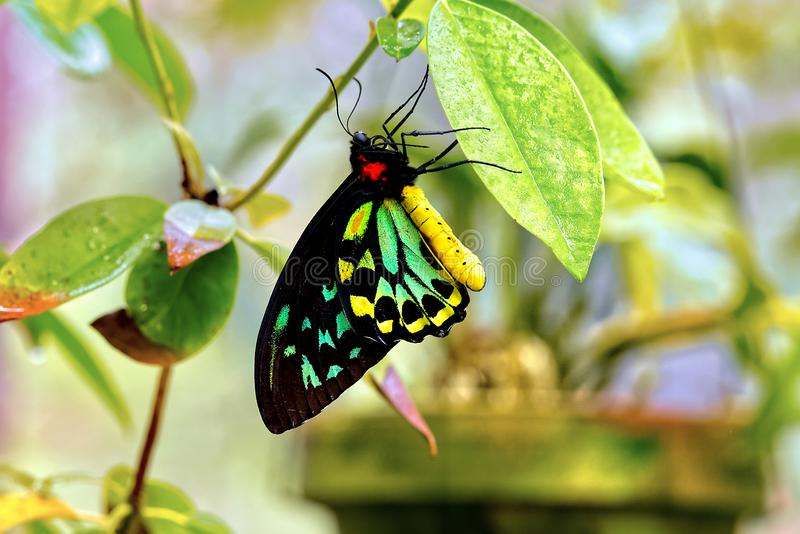 Cairns Birdwing Butterfly. A Cairns Birdwing butterfly resting on a leaf stock photography