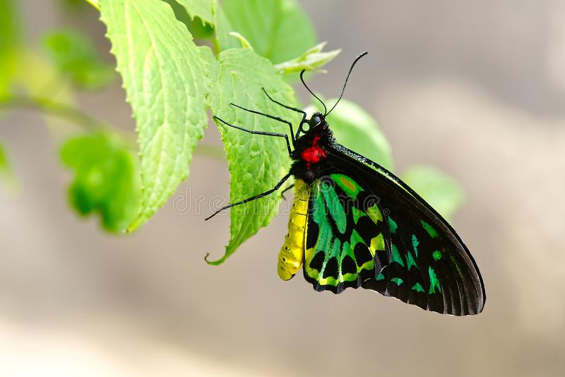 Cairns Birdwing Butterfly With Dew On. A Cairns Birdwing butterfly with dew on body stock photos