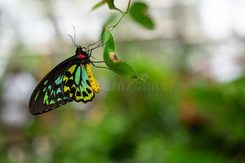 Cairns Birdwing Butterfly, Ornithoptera euphorion. A Cairns Birdwing Butterfly, Ornithoptera euphorion perched on a leaf royalty free stock photos