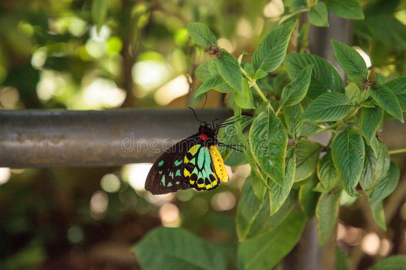 Cairns birdwing butterfly Ornithoptera euphorion. Perches on a tree in a garden. This species is endemic to Australia royalty free stock photography