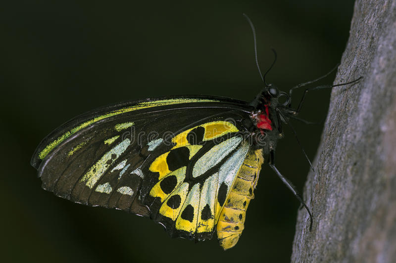 Cairns Birdwing. A male Cairns Birdwing (Ornithoptera priamus) butterfly, from the family Papilionidae royalty free stock images