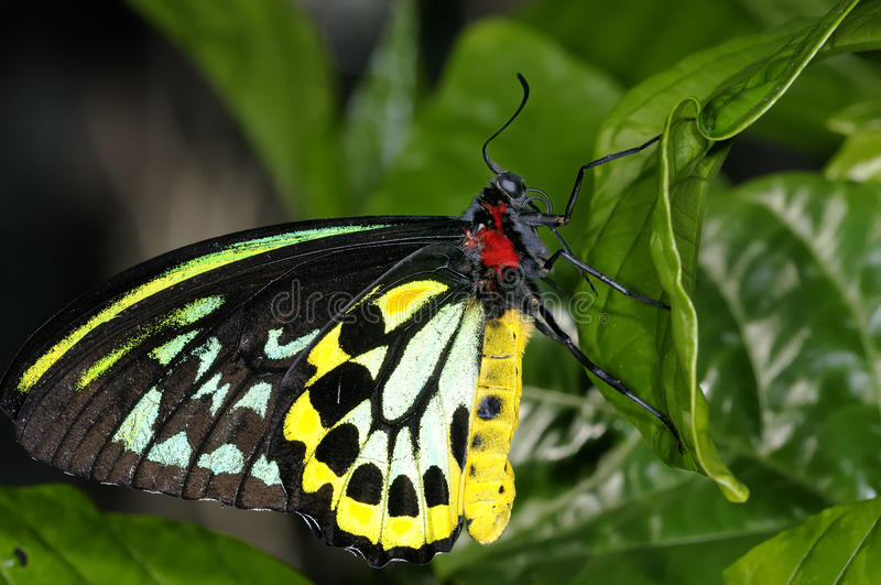 Download Cairns Birdwing,  Ornithoptera Euphorion Stock Image - Image: 12050667