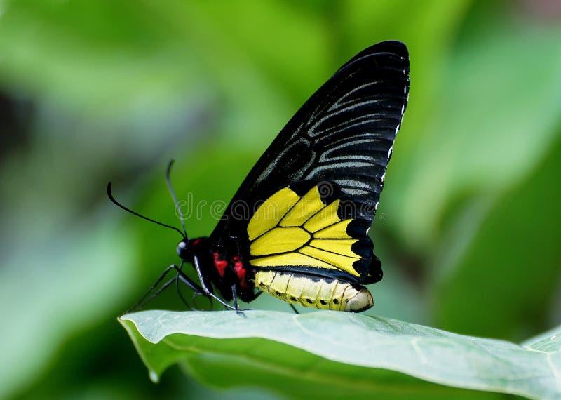 Cairns Birdwing (3) stock photography