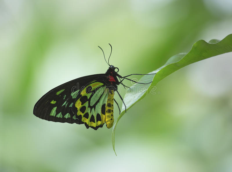 Cairns Birdwing. Taken in Tropical Far North Queensland, this shows the beautiful Cairns Birdwing butterfly at rest on a rainforest plant royalty free stock photography