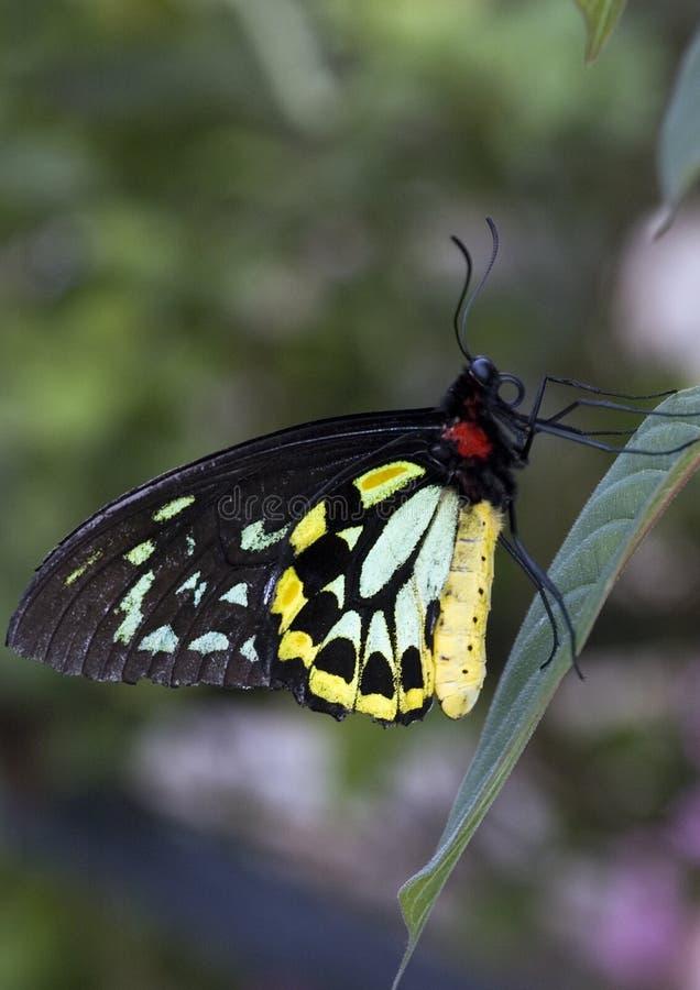 Cairns mâles Birdwing Butteryfly photo stock