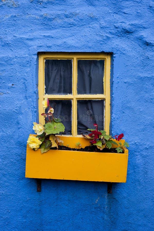 caixa amarela da flor do indicador na parede azul 002 fotos de stock royalty free