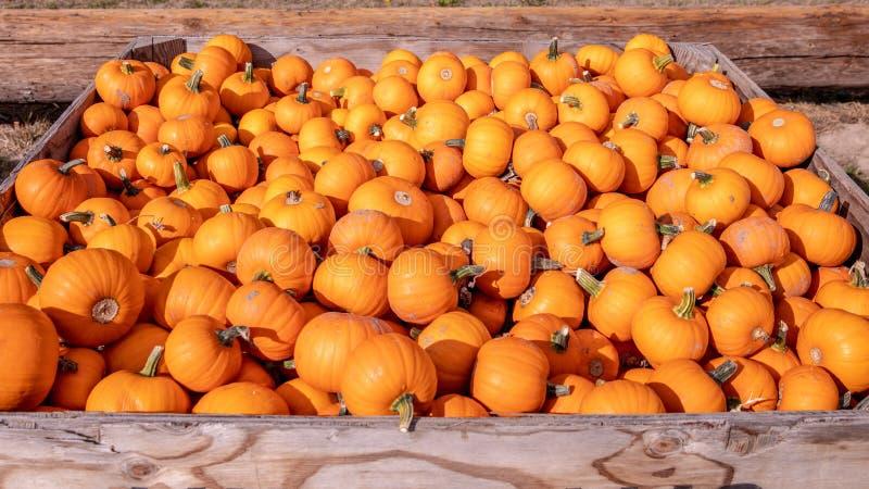 Caixa completamente de abóboras alaranjadas pequenas em um mercado dos fazendeiros fotos de stock royalty free