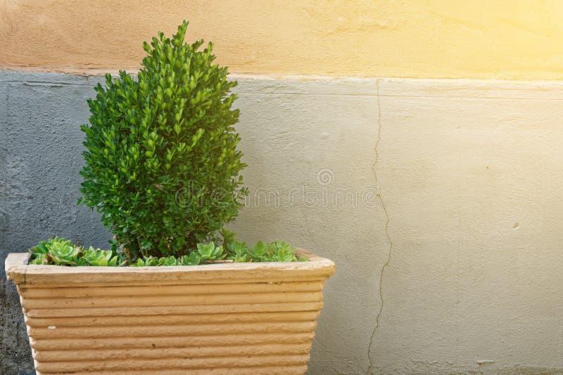 Caixa comum dos sempervirens sempre-verdes do Buxus da árvore, caixa europeia, ou buxo no potenciômetro perto da parede da casa imagens de stock