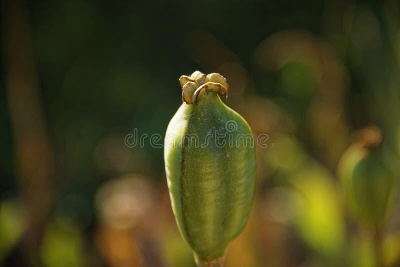 Caixa da papoila no jardim sem pétalas imagem de stock royalty free