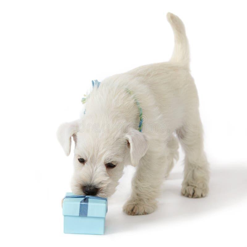 Caixa do filhote de cachorro e de presente fotografia de stock royalty free