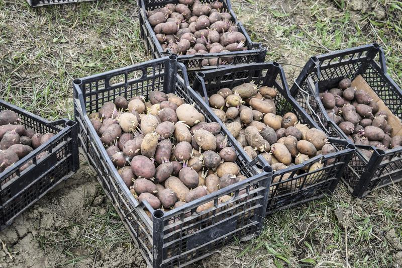 Caixas com batatas fotografia de stock royalty free