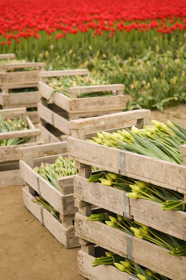 caixas de tulips imagens de stock