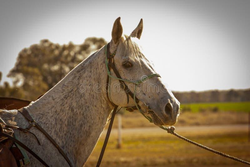 Caixeiro cinzento mordido pulga do cavalo conservado em estoque do curso imagens de stock royalty free