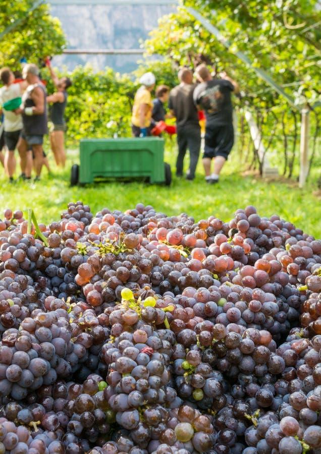 Cajón de uvas cosechadas y filas de vides durante la cosecha de la uva en el Tyrol/el Trentino del sur Alto Adige, Italia septent foto de archivo