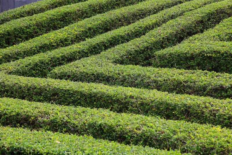 Caja acortada verde que cerca el topiary para la pared y el laberinto del jardín formal imagen de archivo libre de regalías