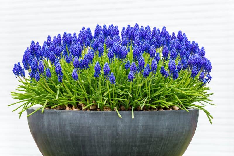 Caja gris de la flor del metal con los jacintos de uva azules fotos de archivo libres de regalías