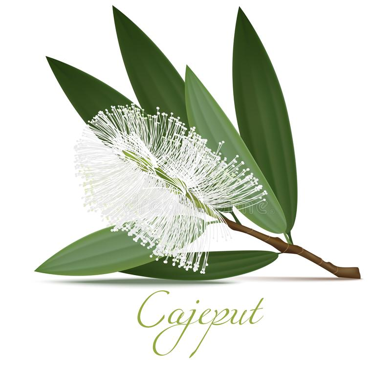 Cajeput Flower and Leaves in Realistic Style vector illustration