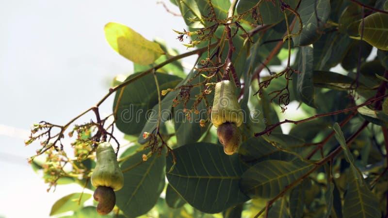 Caju da árvore de porca que cresce Nuts Busuanga, Palawan, Filipinas fotos de stock royalty free