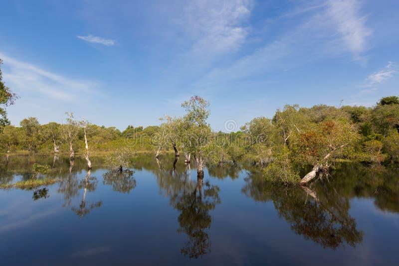 Cajuput, biały Samet drzewny dorośnięcie przy bagnem zalewał las w wacie fotografia stock
