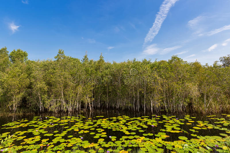 Cajuput, white Samet tree growing at Swamp flooded forest in water with lotus flower leaves in Rayong, Thailand royalty free stock images