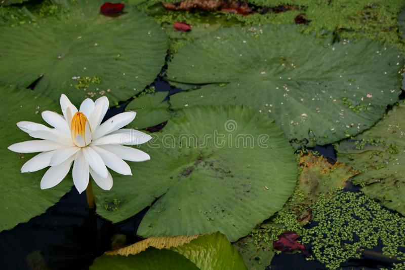 The beauty of lotus flowers on a sunny morning, in a stream of water in Banjarmasin, South Kalimantan Indonesia. Cake maker while working in the kitchen making a royalty free stock image