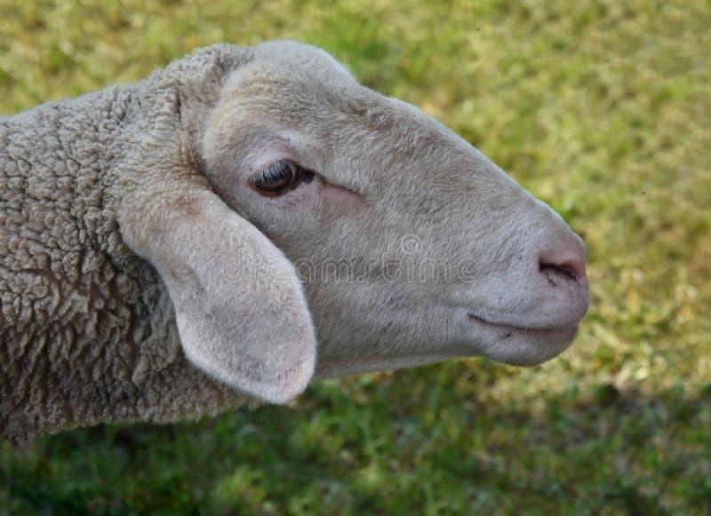 Cakiel głowa zamknięta w górę zwierzęta gospodarskie zdjęcie royalty free