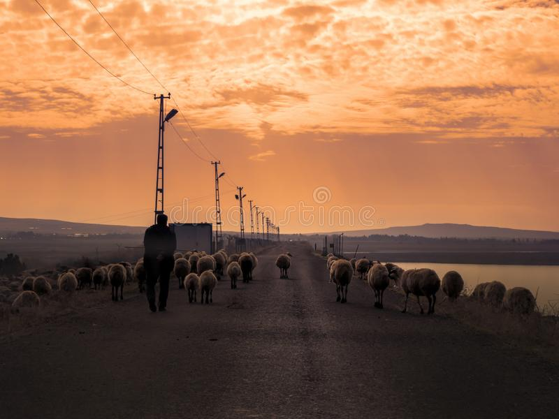 Cakiel gromadzi się odprowadzenie na caklach za one i ścieżce pasterski odprowadzenie z sheeps przy zmierzchem zdjęcia stock