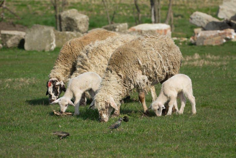 Download Cakiel W Paśniku Zielona Trawa Zdjęcie Stock - Obraz złożonej z piękny, zwierzę: 53776718