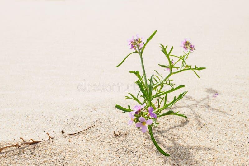 Cakile baltica w piaskach Curonian mierzeja obrazy royalty free