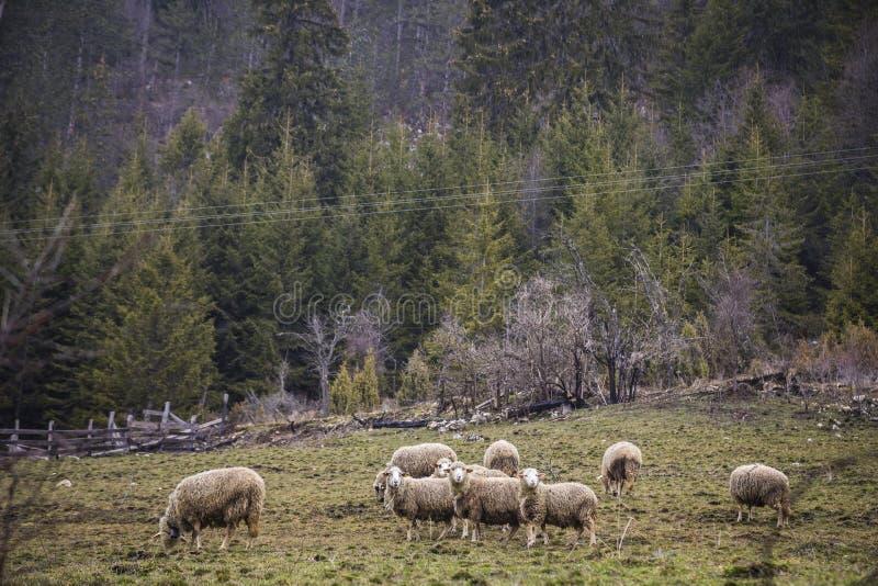 Cakla gospodarstwo rolne obrazy stock