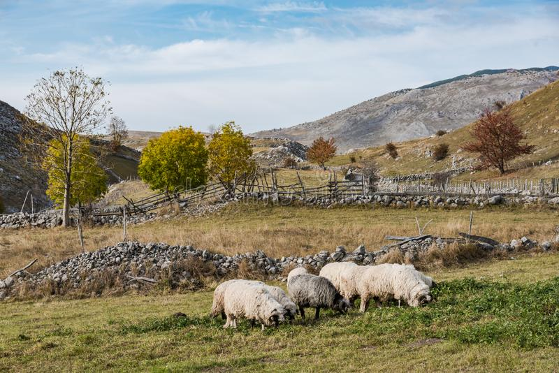 Cakla stada pasanie w dalekim paśniku w Bośnia górach obrazy royalty free