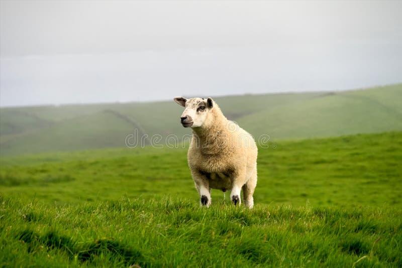 Cakle na sławnych falezach Moher w okręgu administracyjnym Clare, Irlandia zdjęcie royalty free