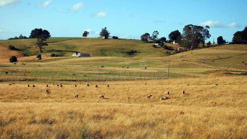 Cakli i bydła pasanie w Otwartych padokach, Tasmania obraz royalty free