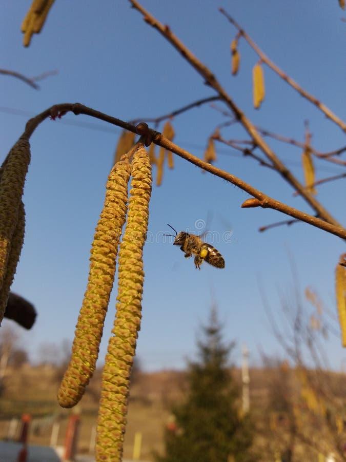 Calças do pólen da abelha foto de stock