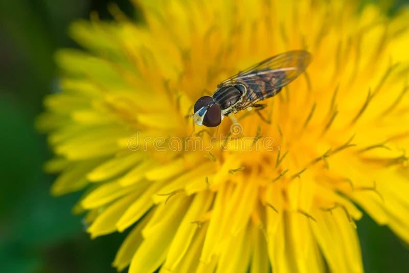 Calígrafo Oriental - Toxomerus geminatus fotografia de stock