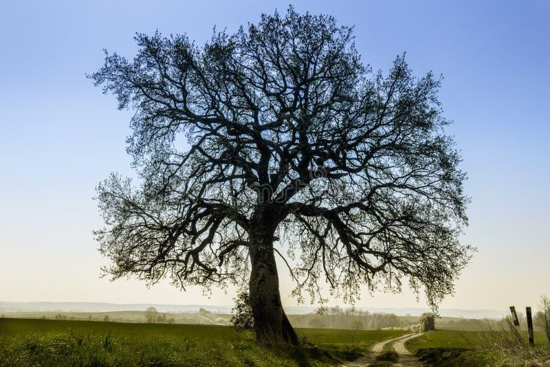 Cal-árvore clara contra o céu azul fotos de stock