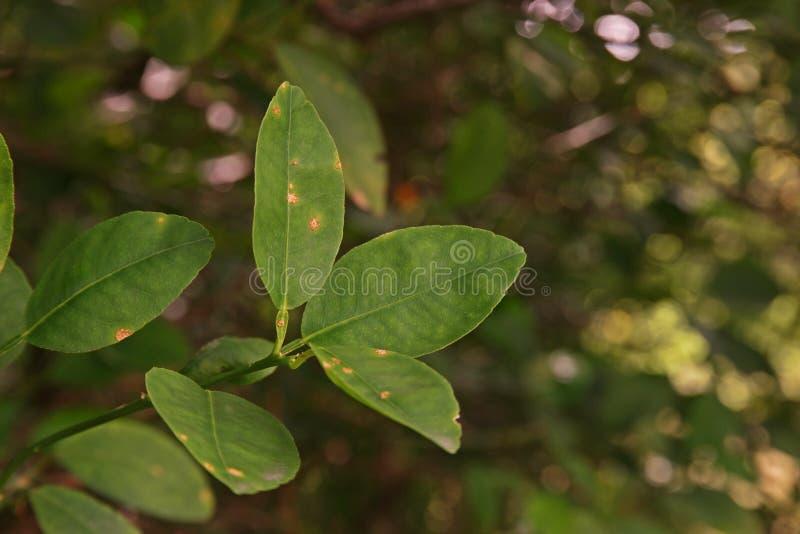 Cal, causas pelas bactérias, úlcera da doença da úlcera do limão do fruto fotografia de stock royalty free