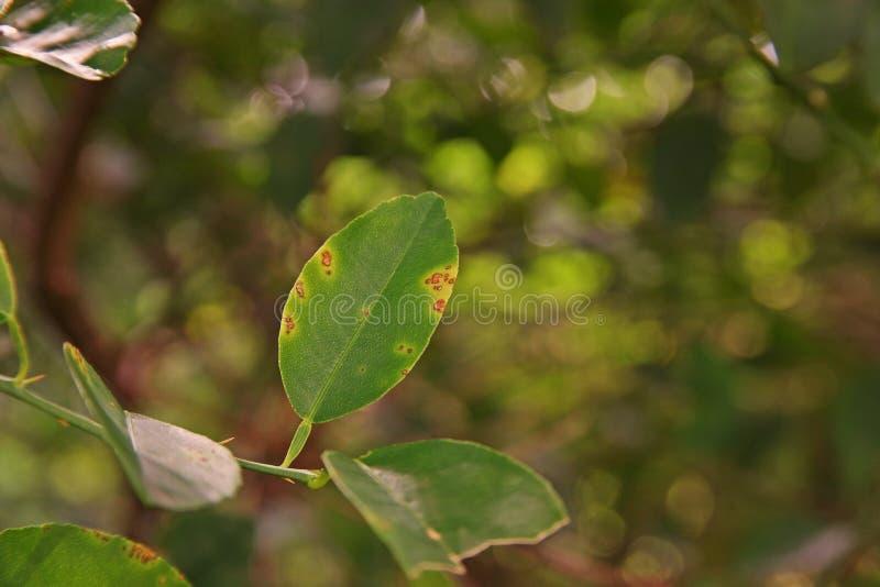 Cal, causas pelas bactérias, úlcera da doença da úlcera do limão do fruto imagem de stock royalty free