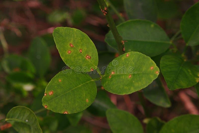 Cal, causas pelas bactérias, úlcera da doença da úlcera do limão do fruto imagens de stock
