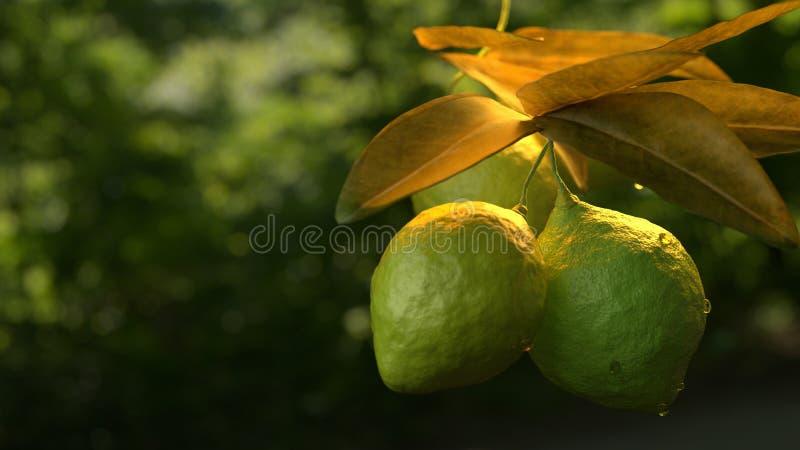 Cal do limão que pendura no ramo de árvore foto de stock