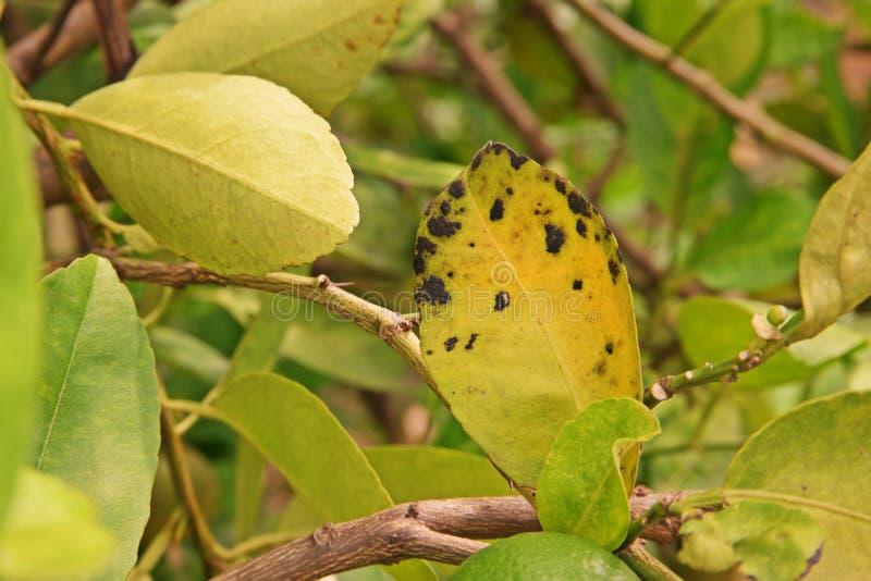Cal, doença do limão, causas por fungos, doença da doença da folha do melanose foto de stock royalty free