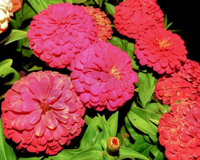 Cal Expo rosa färger och röd Zinnia royaltyfri bild
