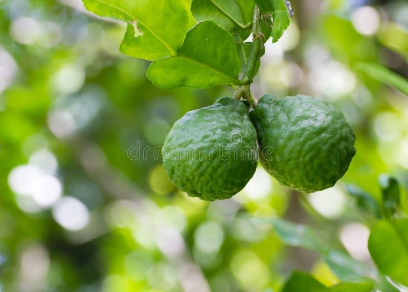 Cal ou bergamota do Leech imagens de stock royalty free