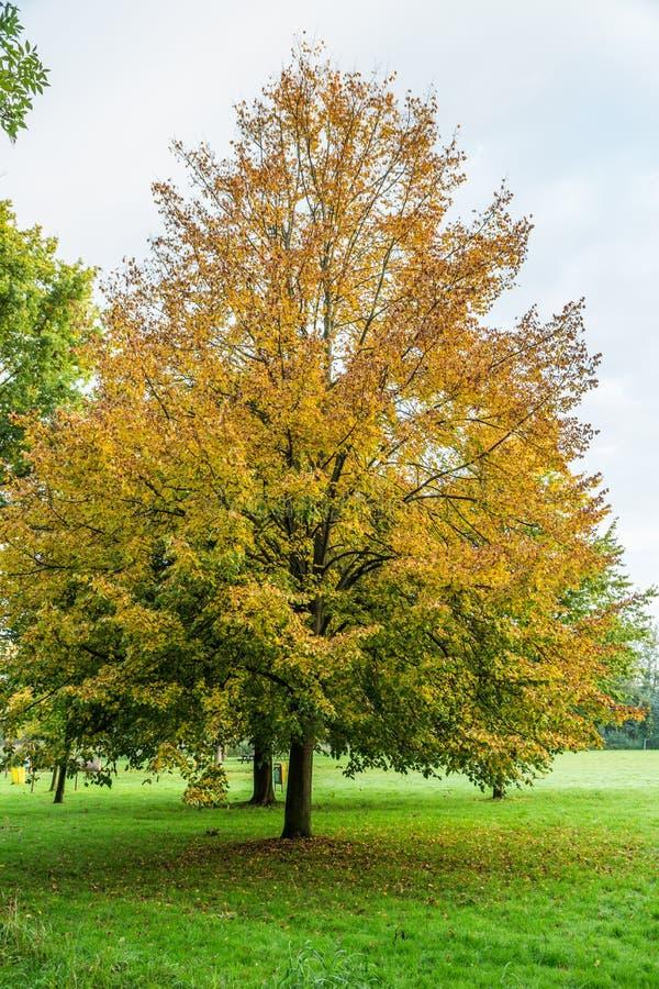 cal Pequeño-con hojas, cordata del Tilia, en colores del otoño imagen de archivo