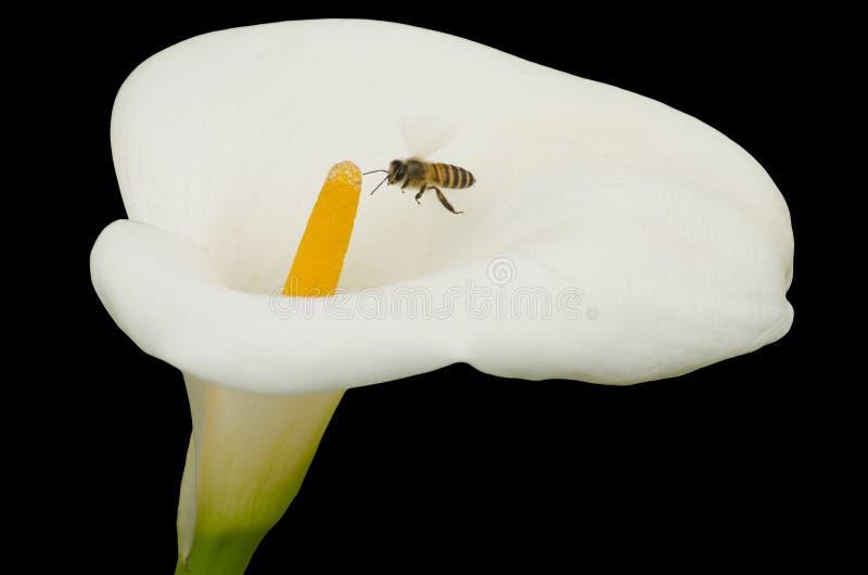 Cala blanca y abeja aisladas en negro fotografía de archivo