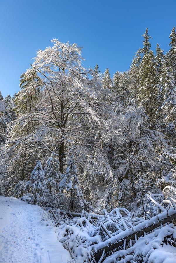 Cala del invierno con el bosque de la nieve en día soleado escarchado imagen de archivo libre de regalías