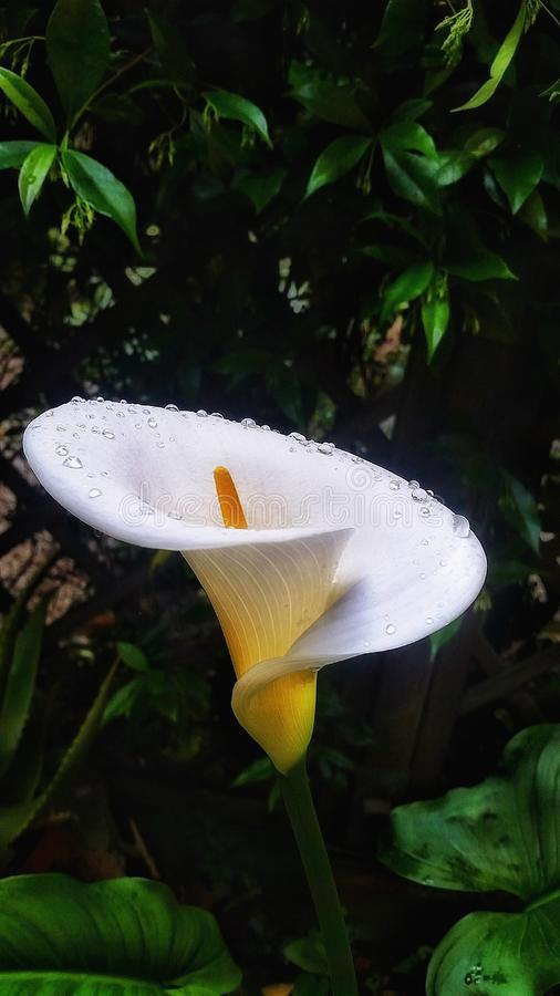 Cala Lilly Drops stock afbeelding