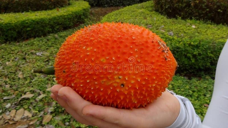 Calabaza amarga espinosa anaranjada de la fruta tailandesa de Gac imagen de archivo