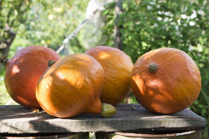 Calabaza anaranjada de Hokkaido en luz del sol en el jardín, después de la cosecha fotografía de archivo libre de regalías